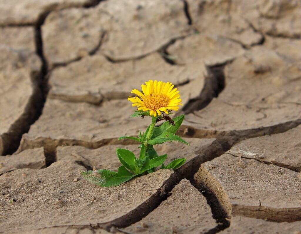 Löwenzahn auf ausgetrocknetem Boden - Entwicklungsfelder im Führungskräfte-Coaching